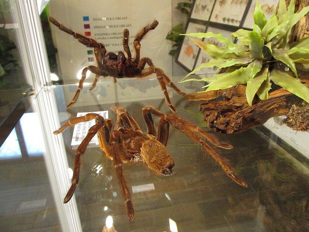 Pavoukárium